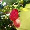 Reddening Strawberries (Assaf Shtilman) Tags: greenhouse plant fruit strawberry ripe red