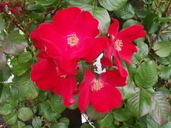 Red Roses (benhosg) Tags: newzealand southisland monavale