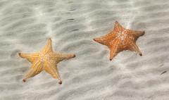 Starfish, Playa Estrella (Starfish Beach), Bocas del Toro, Panama (maxunterwegs) Tags: beach bocasdeltoro estreladomar estrellademar panama panamá playaestrella praia seestern starfish starfishbeach strand étoiledemer provinciadebocasdeltoro