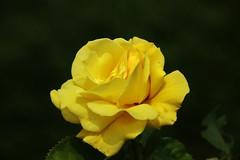 Rose (Hugo von Schreck) Tags: hugovonschreck rose yellow gelb blume flower outdoor blüte canoneos5dsr tamron28300mmf3563divcpzda010 macro makro