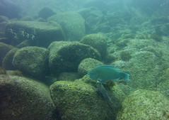 Azure Parrotfish (zoniedude1) Tags: mexico scubadiving underwater reefscape azureparrotfish scaruscompressus scaridae moorishidol zancluscornutus zanclidae 55feetdown seaofcortez baja ocean sea elmar fabfishies pacificocean easternpacific marinelife rockyreef sunlight sunrays diving scuba sealife reefspecies softcorals coral searod seafans sponges hydrozoans invertebrates reefscene submerged loscabos sanjosédelcabo bajacaliforniasur bajaadventure2016 exotictravels ¡amoméxico southoftheborder diversdoitdeeper adventure exploration discovery nature sealifemicro20 pspx8 zoniedude1 earthnaturelife