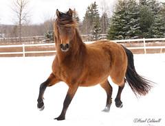 It's snow fun (hazelcaldwell) Tags: action horse snow canada novascotia aquilla