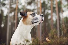 4/52 Edgar (Jutta Bauer) Tags: 52weeksfordogs excellentedgar edgar dog boxermix pitbullmix 52weeksforedgar 452 bokeh