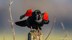 Puffed-up and Loud, like our President (Bob Gunderson) Tags: agelaiusphoeniceus birds blackbirds california coyotevalley icterids northerncalifornia redwingedblackbird santaclaracounty southbay depthoffield