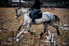 GrifGallops01312017-3 (liz-stout) Tags: gallop griffin horse