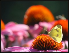 IMG_8039 Paranoid Delusion 7-24-16 (arkansas traveler) Tags: butterfly cabbagewhitebutterfly bichos insects bugs flowers echinacea orange pink bokeh bokehlicious nature naturewatcher zoom telephoto natureartphotography