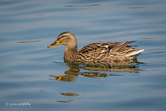 Mallard - female 710_2676.jpg (Mobile Lynn) Tags: england bird nature birds fauna unitedkingdom wildlife lakes ducks mallard waterfowl ponds freshwater estuaries marshes hurst lagoons webbedfeet anseriformes