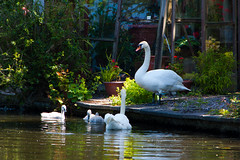 Swans and cygnets, Wightwick (Dave_A_2007) Tags: bird nature swan unitedkingdom wildlife wolverhampton muteswan cygnusolor westmids