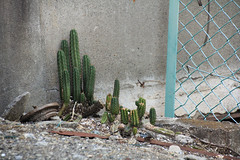 (  / Yorozuna) Tags: cactus plant japan tokyo succulent       fleshyplant  shinjukuward   wakamatsukawada fleshysucculentplant