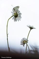 """ Songe d'un Soir "" .. (Thomas Delahaye) Tags: butterfly thomas papillon delahaye dt songe aporia crataegi gaz"