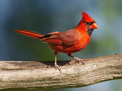 Northern Cardinal, male (AllHarts) Tags: ngc npc memphistn malenortherncardinal backyardbirds avianexcellence naturesspirit naturescarousel challengeclubchampions