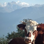mr-moo-cow-with-mont-blanc-behind-him