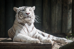 2015-05-23-11h08m10.BL7R8230 (A.J. Haverkamp) Tags: zoo czechrepublic whitetiger dierentuin liberec tsjechi tsjechie wittetijger canonef100400mmf4556lisusmlens liberecregion httpwwwzoolibereccz