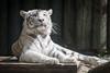 2015-05-23-11h08m10.BL7R8230 (A.J. Haverkamp) Tags: zoo czechrepublic whitetiger dierentuin liberec tsjechië tsjechie wittetijger canonef100400mmf4556lisusmlens liberecregion httpwwwzoolibereccz