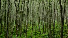 Glendalough Wood (bior) Tags: trees ireland forest woods glendalough wicklow fujifilmxt1