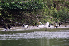cormorants & egret (zbackkcabz) Tags: cute bird nature beautiful grass birds animal river cormorants amazing cool awesome country scene cormorant egret wildbird