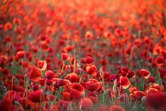 Poppy field (Infomastern) Tags: red flower field poppy blomma röd geolocation vallmo fält camera:make=canon exif:make=canon skateholm exif:lens=efs18200mmf3556is exif:focallength=200mm exif:aperture=ƒ56 exif:isospeed=1000 camera:model=canoneos760d exif:model=canoneos760d