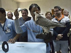 at the Falcon Hospital (giorgia aloisio) Tags: animals hospital vet health falcon medicine cure peregrine giorgiaaloisio