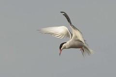DSC_9701 Visdief : Sterne pierregarin : Sterna hirundo : Fluss-Seeschwalbe : Common Tern