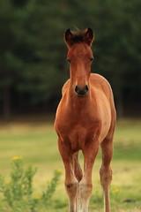 Horse Luis (Puenting) Tags: horse caballo potro foal