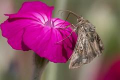 Silver Y Moth (jgsnow) Tags: ngc moth npc silvery
