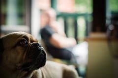 Heimweh (Margot in Love) Tags: berlin animal deutschland pug hund brandenburg parker tier puggle wandlitz homesickness heimweh