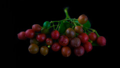 Murraya paniculata (Sidney Pacheco) Tags: macro fruits garden plantas frutos jasmim murraya paniculata murta