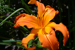 DSC_0031 (andrew_analore) Tags: summer flower happy bright madison orangeflower bloom orrange madisonwisconsin olbrich