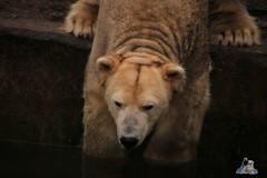 Tierpark Berlin 26.12.2017 007 (Fruehlingsstern) Tags: eisbär polarbear wolodja rothund nashorn stachelschwein tierparkberlin canoneos750 tamron16300