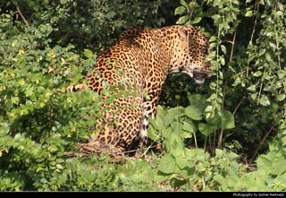 Leopard, Yala NP, Sri Lanka