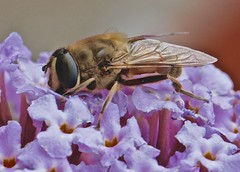 Insekt (heiko.moser (+ 11.700.000 views )) Tags: insekt insect insetto tier tiere biene natur nature natura nahaufnahme makro macro canon closeup color fauna farbig farbe flora blume blüte heikomoser