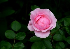 Rose (chrisheidenreich) Tags: rosa rose flower blume natur summer sommer