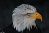 Weißkopfseeadler (Eßer Marc) Tags: greifvogel seeadler habichartige weiskopfseeadler