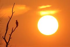 Aalscholver - Phalacrocorax carbo - Great Cormorant (merijnloeve) Tags: aalscholver phalacrocorax carbo great cormorant birds bird aalscholvers slaapplaats boven spieringpolder werkendam nederland biesbosch natuur noordbrabant landschap landscape dutch netherlands sunset sunrise zonsopkomst serene nature ngc