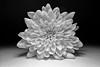 366 - Image 358 - Chrysanthemum... **Explored** (Gary Neville) Tags: 365 365images 366 366images photoaday 2016 sonycybershotrx100 sony sonycybershotrx100v sonyrx100v rx100 rx100v v mk5 garyneville
