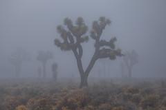 Joshua Trees in Fog (Jeffrey Sullivan) Tags: death valley national park deathvalley nationalpark california usa landscape nature travel photography canon eos 6d roadtrip photo copyright 2017 jeff sullivan january allrightsreserved