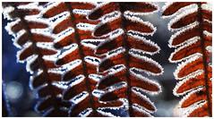 Frozen fern (na_photographs) Tags: farn kalt gefroren frost