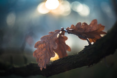 Winter Bokeh (DC P) Tags: helios44 58 mm f 20 m39 m42 58mm leaf bokeh pov closeup close macro lights vintage manual lens goerz old canon adapter dof autumn winter nature fantastic soft softfocus serene colors color colorful veins leafs large format vignette depth field ussr czj carl zeiss biotar clone swirl swirly bej soe flower cccp soviet foucus plant outdoor tree glass helios 44 ngc