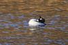 Displaying Drake Goldeneye (Prank F) Tags: titchmarshlnr wildlifetrust northantsuk nature wildlife bird water duck goldeneye drake male
