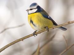 P1070560 (turbok) Tags: blaumeise meise tiere vögel wildtiere coth5 c kurt krimberger