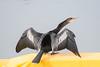 Anhinga (Anhinga anhinga) (acryptozoo) Tags: anhinga anhingaanhinga bird birds aves chordata suliformes anhingidae snakebird lakehenrietta