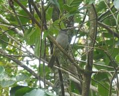 Black-browed Greenbul (tapaculo99) Tags: africa malawi mountmulanje birds aves bulbul greenbul blackbrowedgreenbul arizelocichlafusciceps