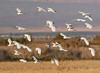 Great Egrets in flight (Robyn Waayers) Tags: greategret greategrets flock saltonsea imperialcounty california robynwaayers