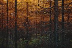 Larix (Olli Tasso) Tags: larch larix tree trees forest metsä puu lehtikuusi orange abstract landscape nature outdoor maisema luonto october autumn fall syksy ruska lokakuu suomi finland