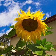 Sunny flower (Ren-s) Tags: sunflower sky ciel nuages clouds roof toit house mainson réunion island océanindien indianocean dom outremer overseas feuille leaves pétale petal jaune yellow carré square outside outdoor nature piton cilaos montagne mountain