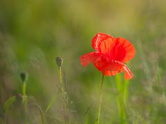 zomers klaproosje - summery poppy (de_frakke) Tags: rood red coquelicot klaproos zomer summer bloem flower poppie outside wild