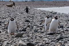 Antarctica, Yankee Harbor - Winter 2016-2017-98.jpg (jbernstein899) Tags: water gentoopenguins antarctica yankeeharbor penguins