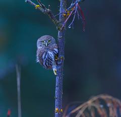 Pygmy branch creeper.... (Khanh B. Tran) Tags: