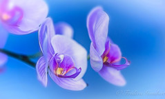 Spring purple desire , and light (frederic.gombert) Tags: orchid orchidee light sun sunlight flower flowers color blue red pink white spring indoor macro plant nikon d810 greatestphotographers greaterphotographers greatphotographers