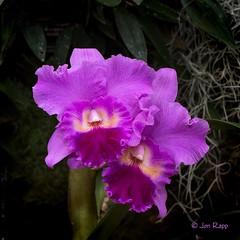 Cattleya Drumbeat 'Triumph' HCC AOS (MO FunGuy) Tags: cattleya drumbeat triumph hcc aos missouri orchid